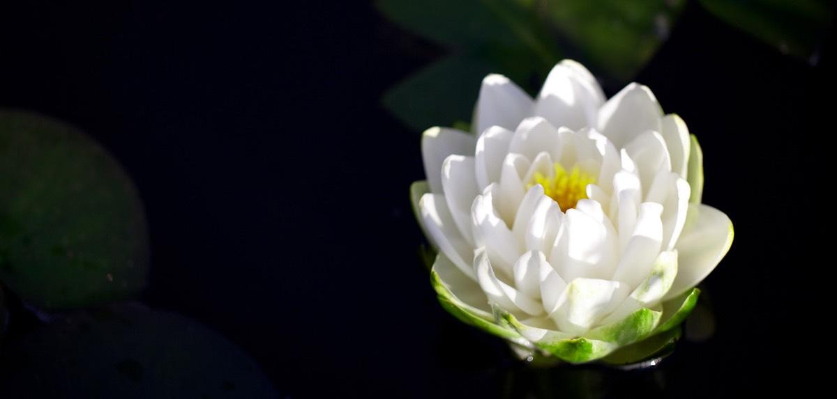 lotus sized
